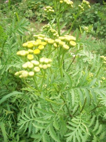 Artemisia annua borrelia